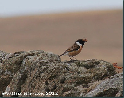 52-stonechat-and-emperor