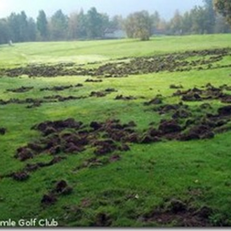 Evil Swedish Golf Hooligan Piglets Shot. Anyone For Rashers?