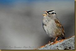 White-crowned Sparrow-D7K_9626  NIKON D7000 June 20, 2011
