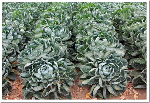 120929_SucculentGardens_cabbages