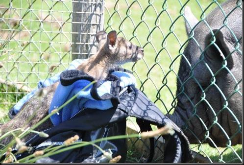 Henry picks up the Piggy scent! DSC_0425