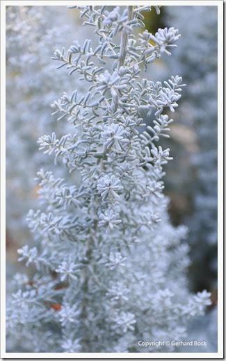131124_UCD_Arboretum_AustralianCollection_Westringia-fruticosa-Smokie_02