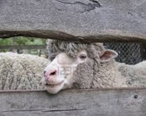 Amazing Pictures of Animals, Photo, Nature, Incredibel, Funny, Zoo, Mammals, Merino, Sheep, Alex (17)