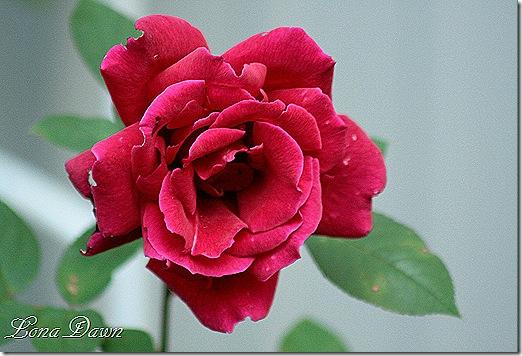 Almost_Black_Rose_Oct
