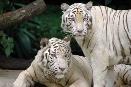 Singapore_Zoo_Tigers.img_assist_custom