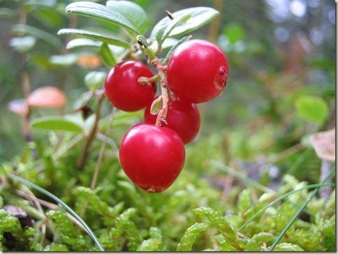 800px-Cowberry