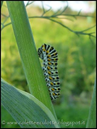 Bruco di Papilio machaon (Farfalla macaone) (1)