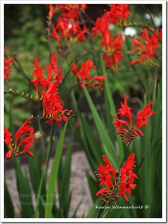 Rödaliljor
