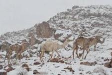 Snow Camels