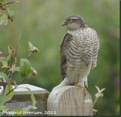 1 sparrowhawk (2)