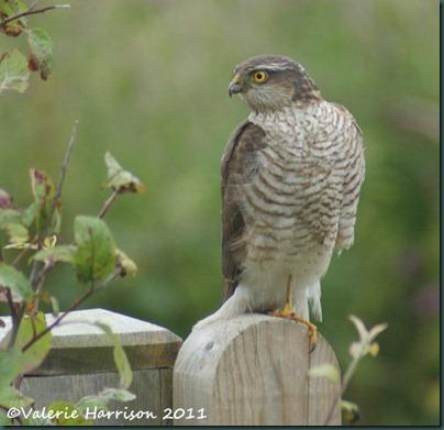 1 sparrowhawk (2)