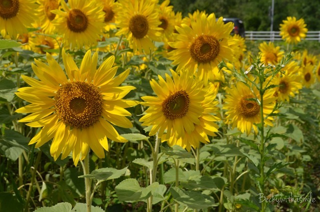 2013-08-22 Sunflowers 023