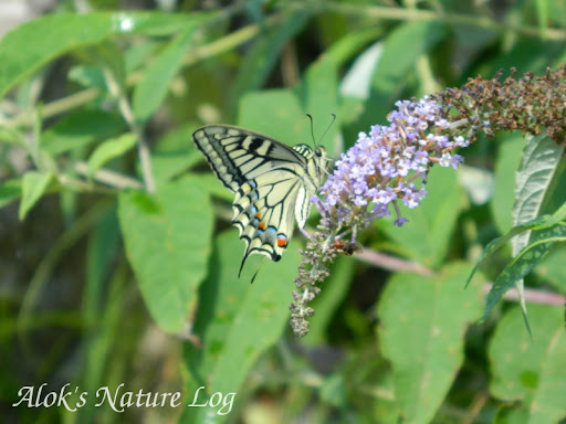 Papilionidae%25252c%252520papilio%252520machaon%25252c%252520common%252520yellow%252520swallowtail