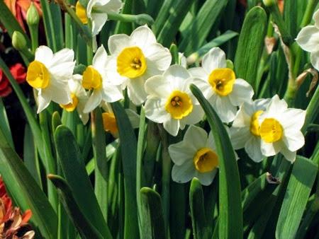 Daffodils 013