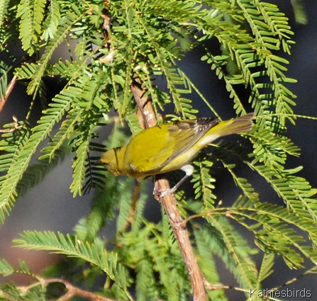 13. Tennessee Warbler in Tucson