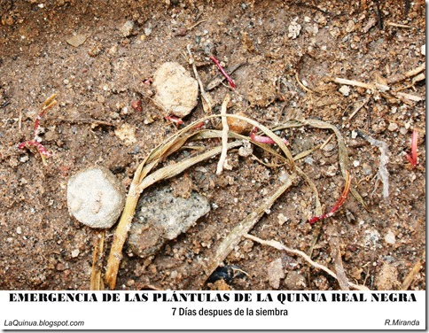 Emergencia de las plántulas de la Quinua Real negra-Ruben Miranda_LaQuinua.blogspot.com