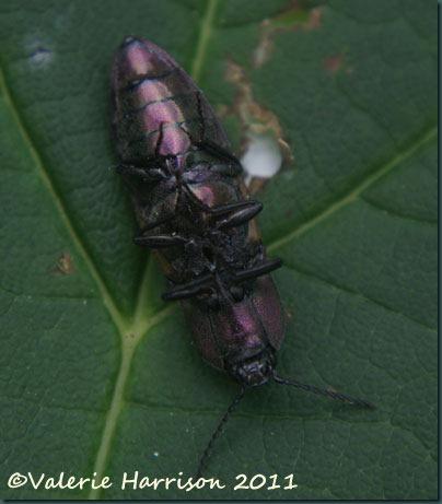 click-beetle-underside