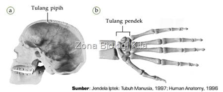 tulang pendek