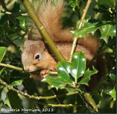 red-squirrel-and-tick