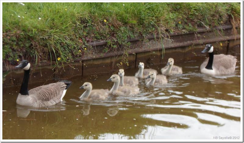 SAM_0457 Geese