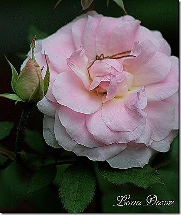 Rose_Gertrude_Jeckyll