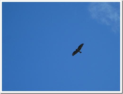 En fågel vakade över sitt bo och flög lågt över våra huvud när vi kom upp för klippan. Tror det är en ormvråk.