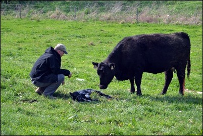 checking calves