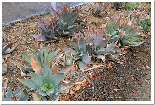 140208_RBG_Aloe-striata007