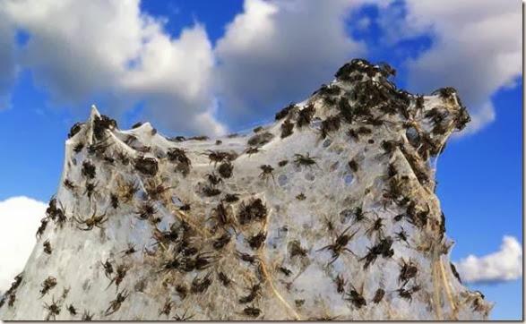 spiders-invading-australia-11