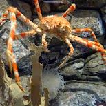giant sea crab at the Shinagawa Aquarium in Shinagawa, Tokyo, Japan