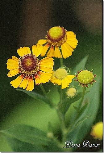 Helenium_Yellow