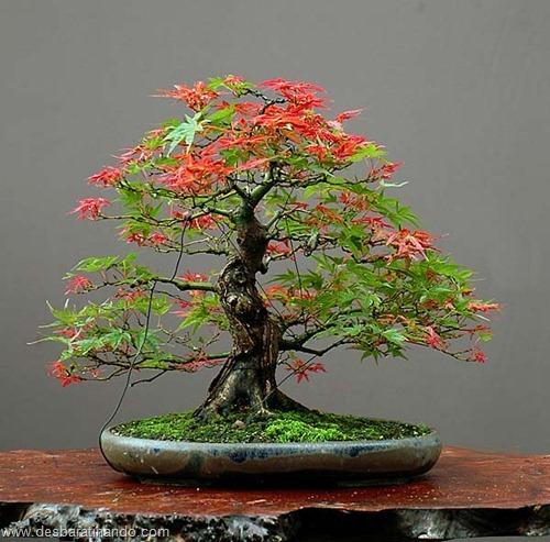 bonsais arvores em miniatura desbaratinando (3)