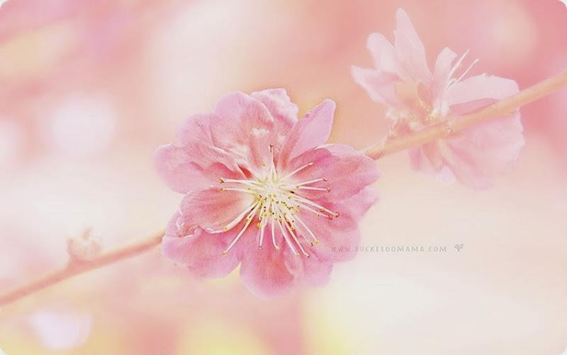 Cherry-blossom-(3)