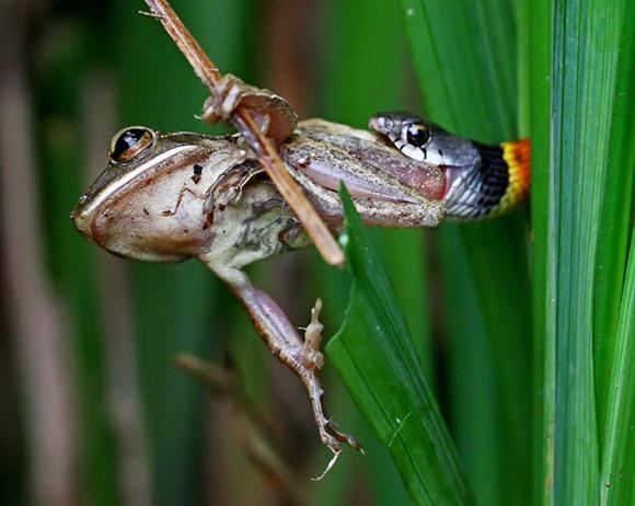 snake-frog_1963042i