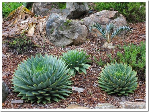 121228_UCBotGarden_Aloe-polyphylla_06
