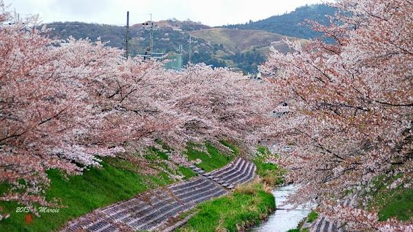 奈良佐保川櫻花(なら さほがわ 桜)