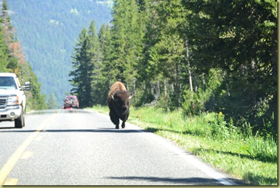 Bison on Road-1