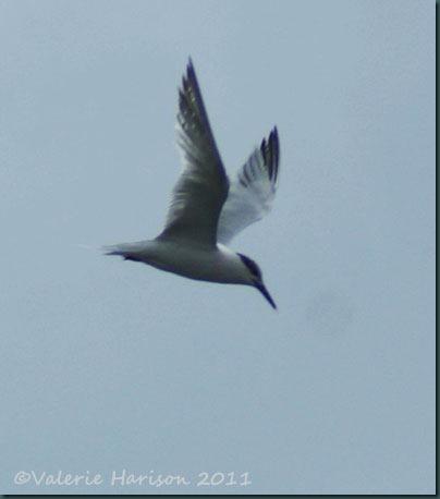 3-sandwich-tern
