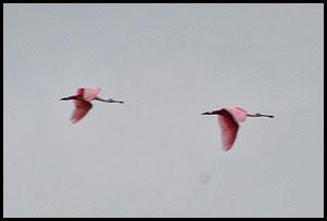 00c - Animals - Roseate Spoonbills