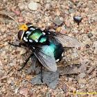 Snail Parasitic Blowfly