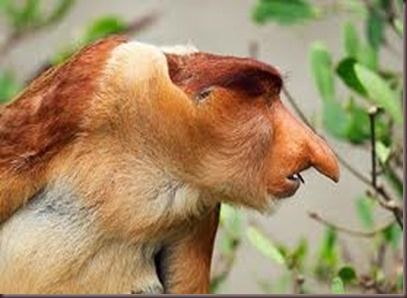 Amazing Pictures of Animals photo Nature exotic funny incredibel Zoo Proboscis monkey, long-nosed monkey, mammalia.Alex (5)