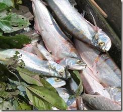 enfermedades en los peces