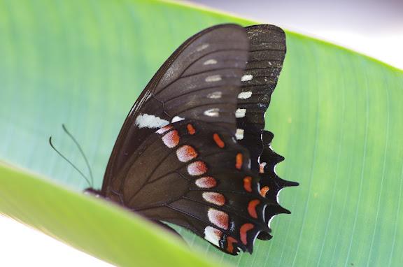 Papilio menatius cleotas GRAY, 1832. Sertao de Barra do Una (Sao Sebastiao, SP). 14 février 2012. Photo : J.-M. Gayman