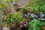 red cabbages, lots of parsley, peas not very visible, December's indoor peppers still trucking along