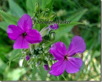 purple wild flowersIMAG0264