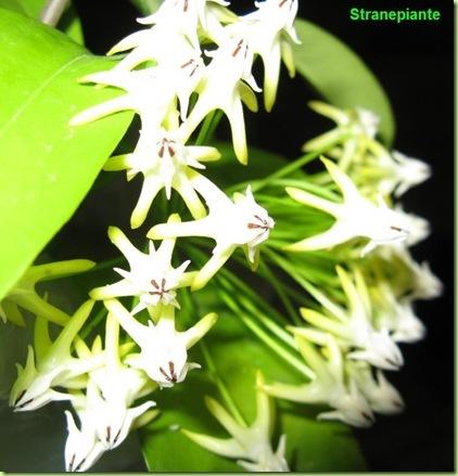 Hoya multiflora thailandia