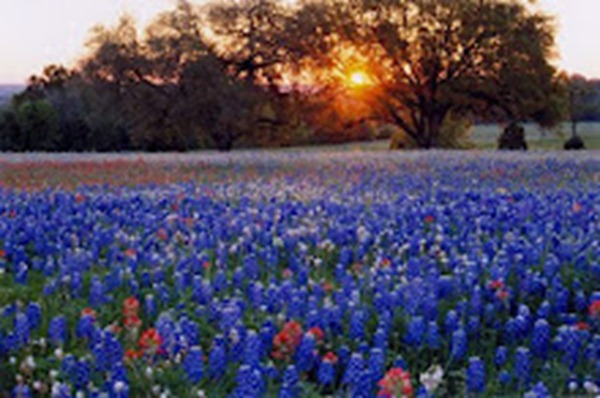 bluebonnet field at dusk (credit=Larry Urqhart)_med