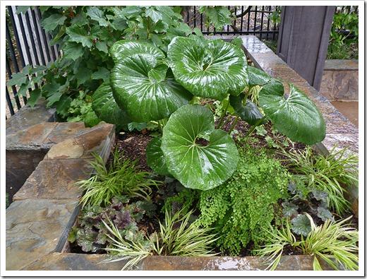 Farfugium Japonicum Giganteum : Succulents farfugium in the rain