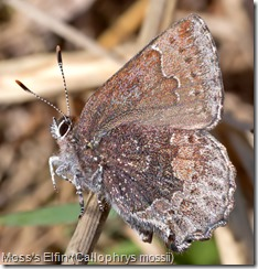 Moss's Elfin (Callophrys mossii)