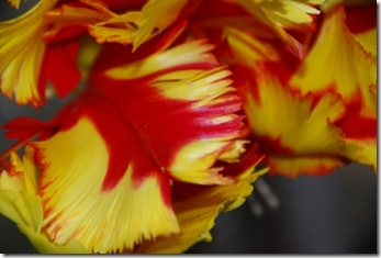 tulipa DSC_0391DSC_03955